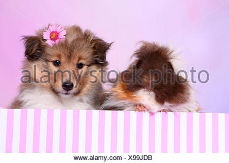 Shetland Sheepdog. Puppy (6 weeks old) and a long-haired guinea pig sitting in a pin-and-white striped box. Studio picture - Stock Photo