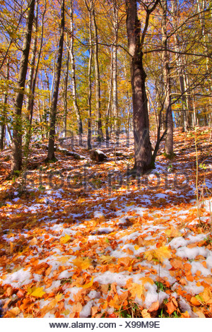 first snow in autumn forest, Germany, Bavaria, Oberbayern, Upper Bavaria - Stock Photo