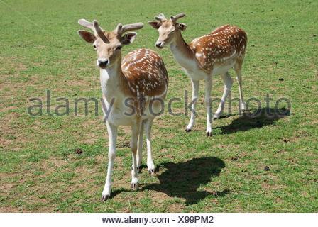 Fallow Deer (Dama dama). - Stock Photo