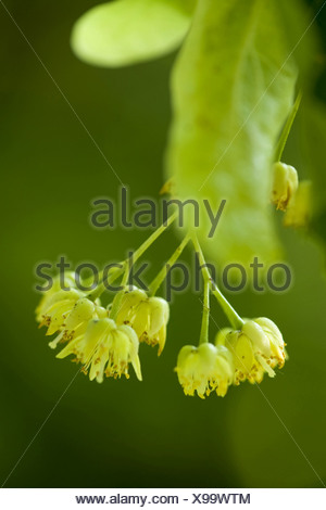 large-leaved lime, lime tree (Tilia platyphyllos), blossoms, Germany - Stock Photo