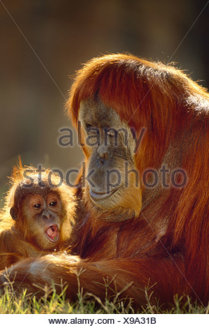 Sumatran orangutan and young Pongo abelii Native to Sumatra Sumatra - Stock Photo