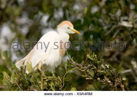 A Cattle Egret (Bubulcus ibis) in breeding plumage. - Stock Photo