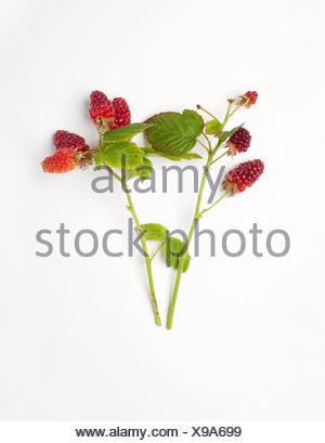 Rubus idaeus (Raspberry) sprigs of leaves and berries - Stock Photo