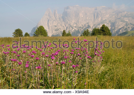 Melancholy Thistle (Cirsium helenioides) in front of Schlern Mountain, Seiser Alm, Dolomites, Alto Adige, Italy, Europe - Stock Photo