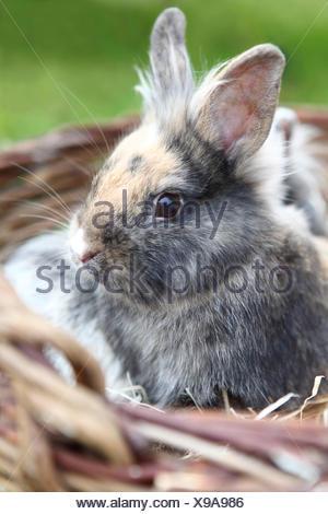 lionhead bunny # 2 - Stock Photo