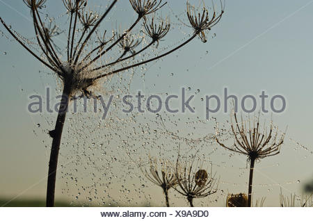 Dew-covered spiderweb between umbelifers in morning light, Dresden, Saxony - Stock Photo
