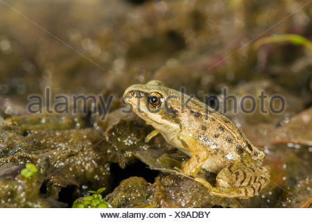 Common Frog (Rana temporaria), immature froglet, South Wales, United Kingdom - Stock Photo