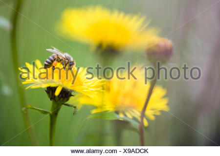 honey bee, hive bee (Apis mellifera mellifera), collects pollen, Germany, Hesse - Stock Photo