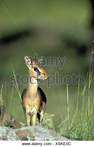 zoology / animals, mammal / mammalian, antelope, Kirk's Dik-dik (Madoqua kirkii), Masai Mara, Kenya, distribution: East and Sout - Stock Photo