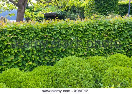 common hornbeam, European hornbeam (Carpinus betulus), hornbeam hedge with boxwoods , Netherlands - Stock Photo