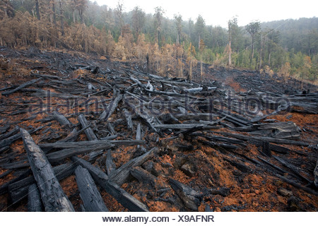 Clearfelled old-growth forest - Stock Photo