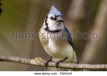 Blue jay (Cyanocitta cristata), Greater Sudbury, Ontario, Canada. - Stock Photo