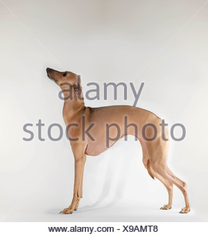 Dog standing on white background - Stock Photo