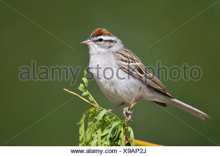 Chipping Sparrow - Spizella passerina - Adult breeding - Stock Photo