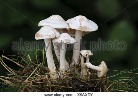 White Domecap (Lyophyllum connatum) fruiting bodies troop growing in tuft of grass Clumber Park Nottinghamshire England - Stock Photo