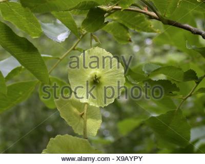 Cyclocarya (Cyclocarya paliurus (Pterocarya paliurus)), fruit - Stock Photo