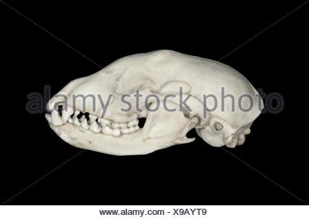 Dog Skull - Canis lupus familiaris - Stock Photo