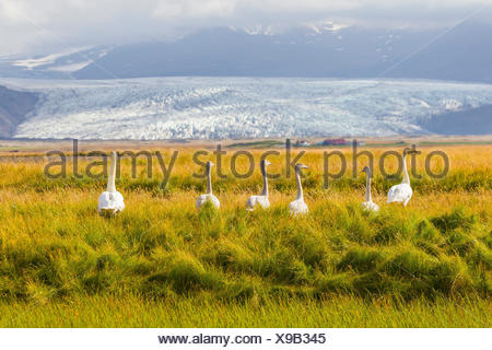 A family of whooper swans in tall grass near a large glacier on the south coast of Iceland. - Stock Photo