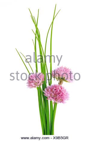 Chives (Allium schoenoprasum) - Stock Photo