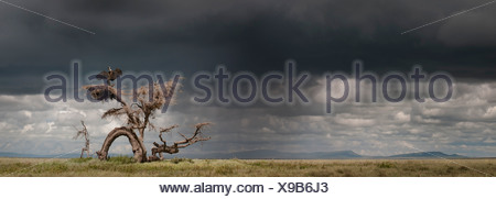 Ruppell's Griffon Vulture drying its wings after a rain storm perched on a knarled tree. Ngorongoro, Serengeti, Tanzania. - Stock Photo