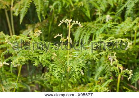 bracken fern (Pteridium aquilinum), developing leaf, Germany - Stock Photo