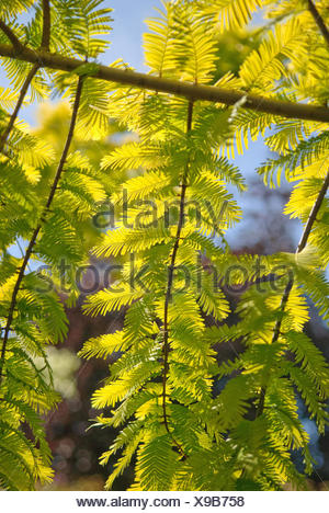 dawn redwood (Metasequoia glyptostroboides 'Gold Rush', Metasequoia glyptostroboides Gold Rush), branches of cultivar Gold Rush in backlight - Stock Photo
