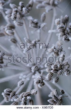 Foeniculum vulgare, Fennel - Stock Photo