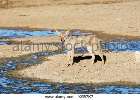 black-backed jackal (Canis mesomelas), standing at a watercourse running dry, South Africa, Kgalagadi Transfrontier National Park - Stock Photo