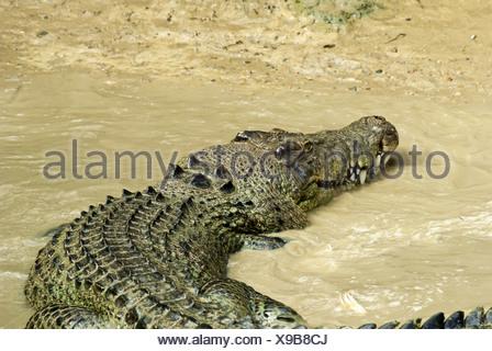 Estuarine Crocodile in agitated mud water - Stock Photo