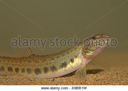 portrait of a spinned loach on sand - Stock Photo
