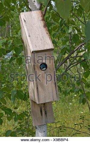 Tree Swallow (Tachycineta bicolor) in nest box. Minnesota. North America. - Stock Photo