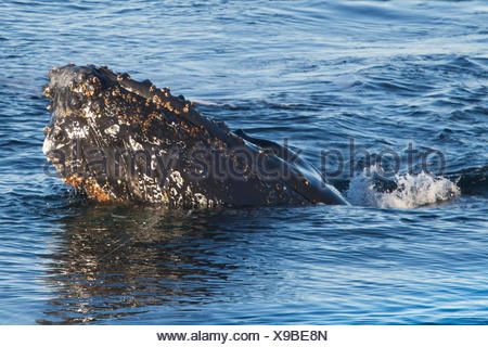 A humpback whale, Megaptera novaeangliae, surfacing for air. - Stock Photo