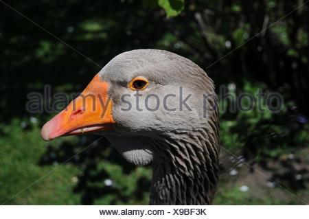 Anser anser domesticus, Domestic goose - Stock Photo