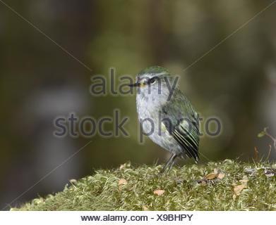 Rifleman - Acanthisitta chloris - Stock Photo
