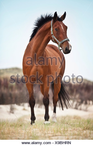 Hanoverian gelding, bay with a facial marking, standing in the dunes of Borkum, Lower Saxony, Germany - Stock Photo