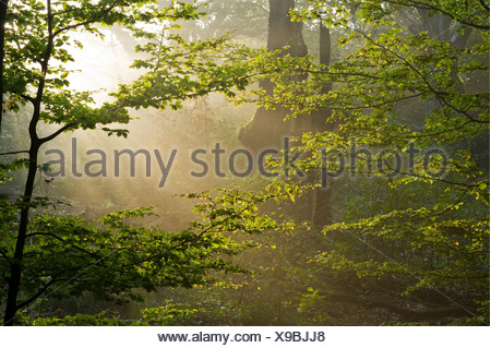 Morning mist at the Urwald Sababurg primeval forest, Hofgeismar, North Hesse, Germany, Europe - Stock Photo