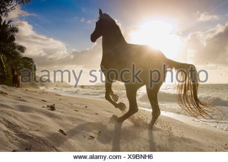 Arabian Horse gallop tropical beach Seychelles - Stock Photo