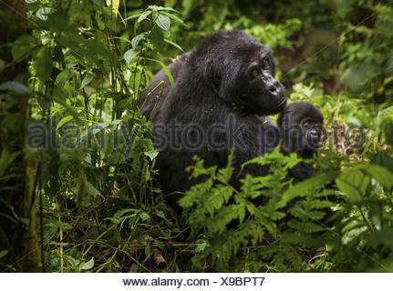 Mountain gorilla and juvenile Volcanoes National Park Rwanda Volcanoes National Park Rwanda - Stock Photo