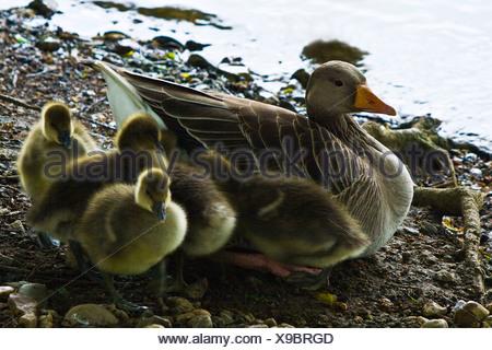 Grey-lag goose (Anser anser). Close up image of head showing eye and beak detail. - Stock Photo