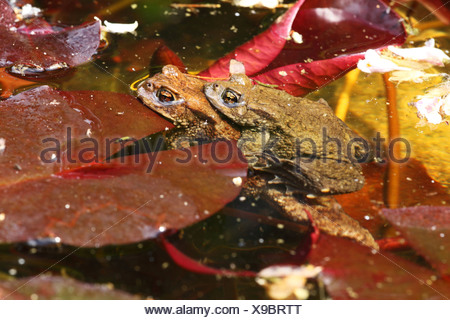 Two common toads, bufo bufo, in pond - Stock Photo
