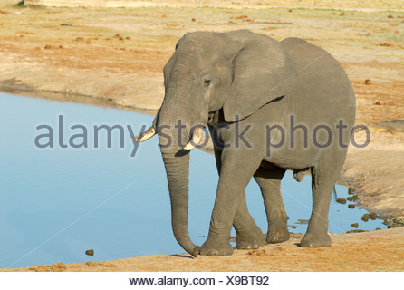 Solitary bull African elephant Loxodonta africana at a waterhole - Stock Photo