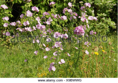 Malva moschata, Musk-mallow - Stock Photo