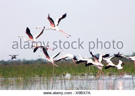 Flamingos in flight - Stock Photo