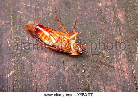 An upside down, American cockroach, Periplaneta americana. - Stock Photo