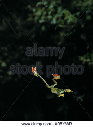 Jade tree frog (Rhacophorus dulitensis) gliding between trees, controlled conditions - Stock Photo