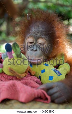 Orangutan (Pongo pygmaeus) orphan  juvenile in nursery, sleeping on toys. Nyaru Menteng Orangutan Reintroduction Project, Central Kalimantan, Borneo, Indonesia. - Stock Photo