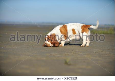 snuffling Basset Hound - Stock Photo