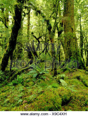 New Zealand. South Island. Moss covered rainforest. - Stock Photo