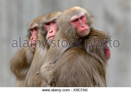 Japanese macaque, Snow Monkey, (Macaca fuscata), captive - Stock Photo