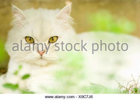 Chinchilla cat - Stock Photo